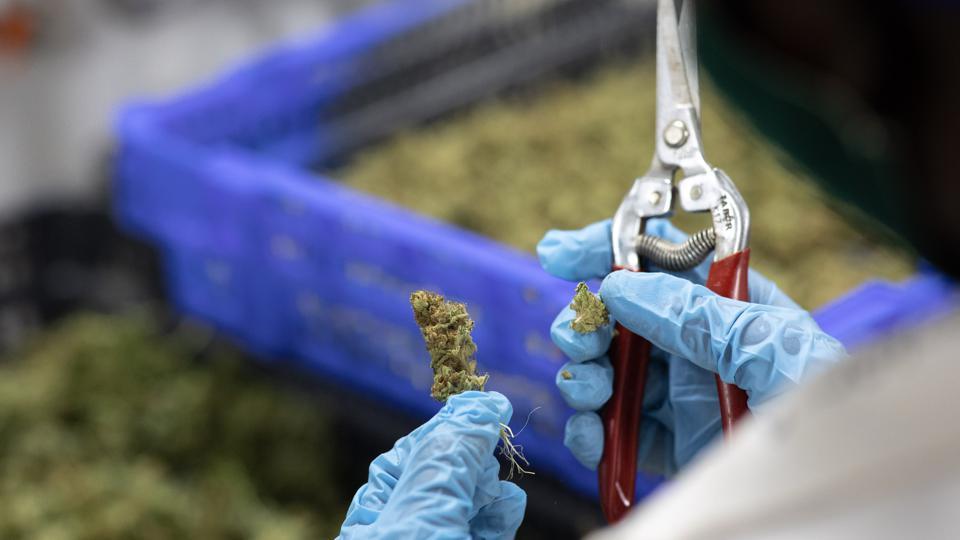 La ONU elimina el cannabis de la lista de drogas peligrosas - ahora us